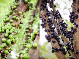 zdroj zoomagazin.cz/ flickr Popisek: Zralé a nezralé plody stromu jaboticaba