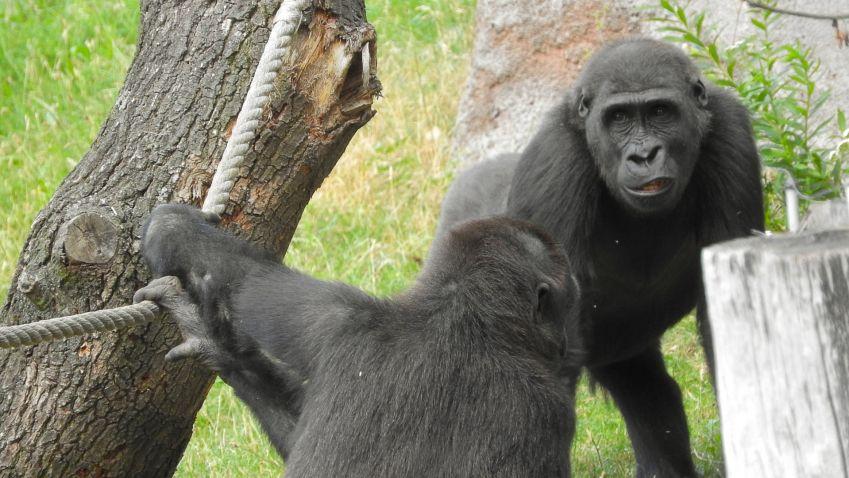 Pražská zoo začala betonovat nový pavilon goril
