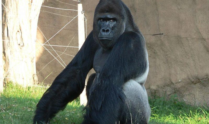 V pražské zoo zahájili stavbu nového pavilonu goril